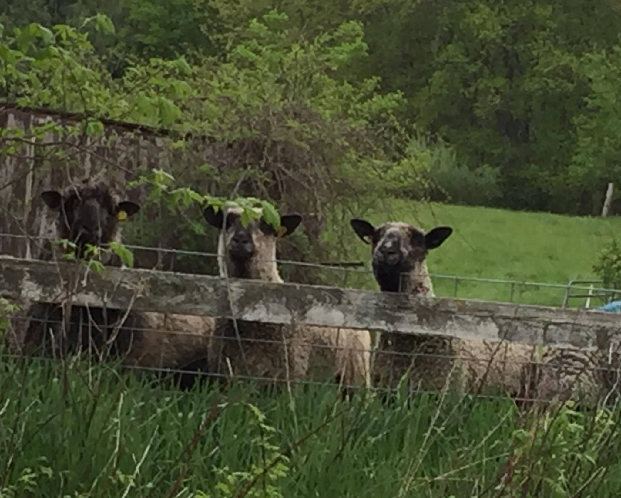 Golfers Arms Tavern's featured farm: Wind Valley Farm. The sheep alopng the fenceline.